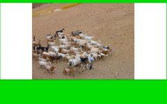 No hay ovejas pero valgan las cabras