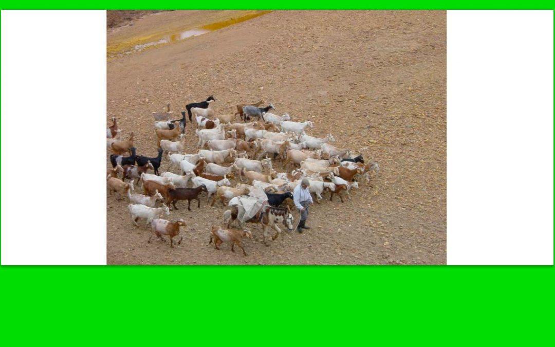 Por aquí no pasaban ovejas, son cabras, pero hay sequía